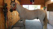 TN Walker horse