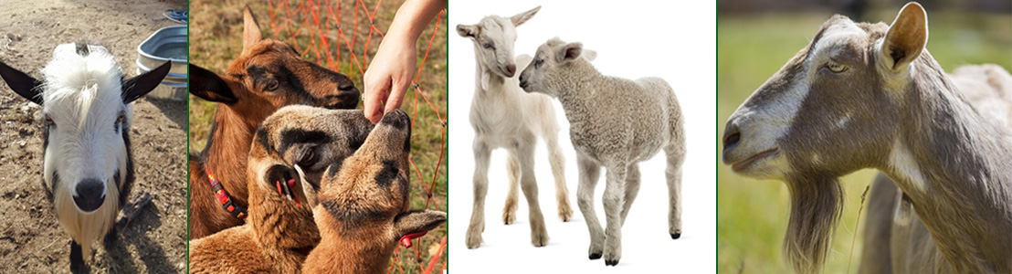 Goat-and-Sheep